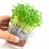正品 负离子第二代迷你植物盆栽 负离子陶碳球植栽 铜钱草 60个/箱