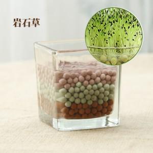正品 负离子第二代迷你植物盆栽 负离子陶碳球植栽 岩石草 60个/箱
