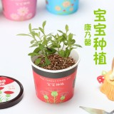 宝宝种植微景观迷你可爱盆栽桌面生态植物小盆景 康乃馨 288个/箱
