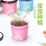 宝宝种植微景观迷你可爱盆栽桌面生态植物小盆景 波斯菊 288个/箱